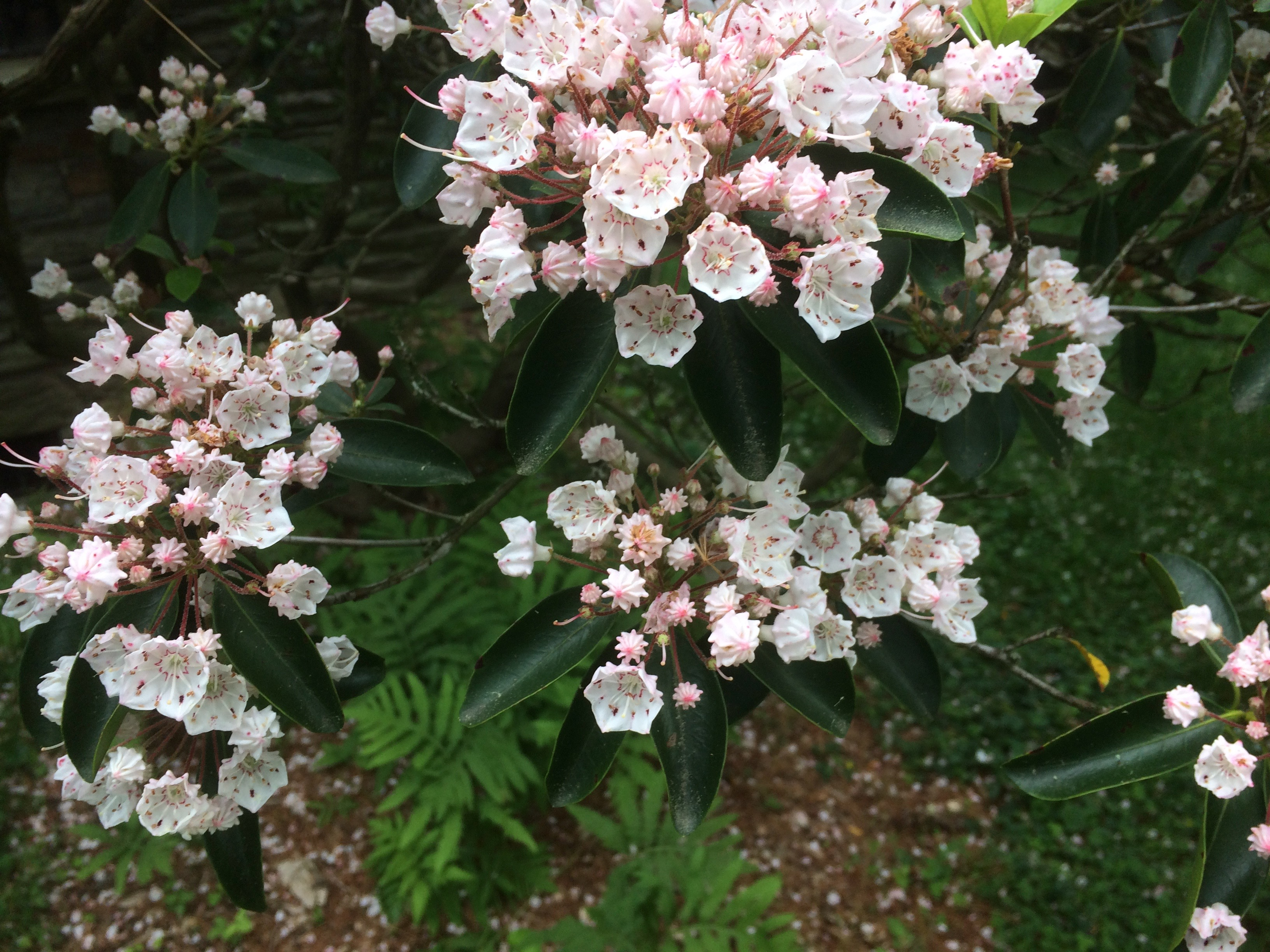 Mountain Laurel blossoms open in geometrically shaped blooms